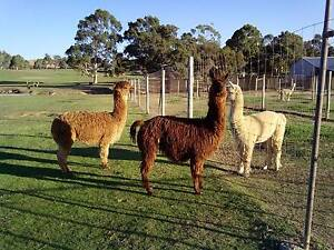 Alpaca Females for Sale Bullsbrook Swan Area Preview