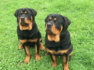 Rottweiler Dogs Puppies Gumtree Australia Cardinia Area