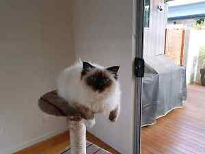 Birman kitten 7 months old Midway Point Sorell Area Preview