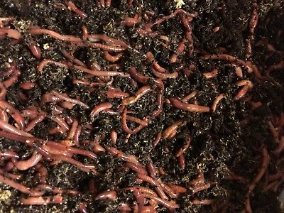 2 lb Mx  compost worms  European n. crawler, Red wigglers mix