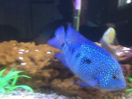 fish   texas cichlid