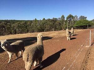 Alpacas for sale Boyup Brook Boyup Brook Area Preview