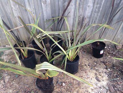 Cordyline plants Sunbury Hume Area Preview
