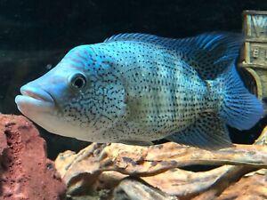Dovii Wolf Cichlid Fry Fish Gumtree Australia Baw Baw Area