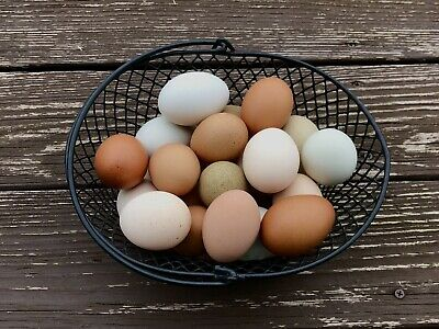 12 Fertile Chicken Hatching Eggs - Barnyard Mix Colorful Rare Breeds