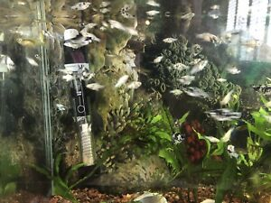 Dalmatian Molly and Guppie fish for sale