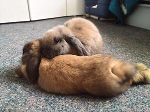 Two pedigree male holland lop eared bunnies.