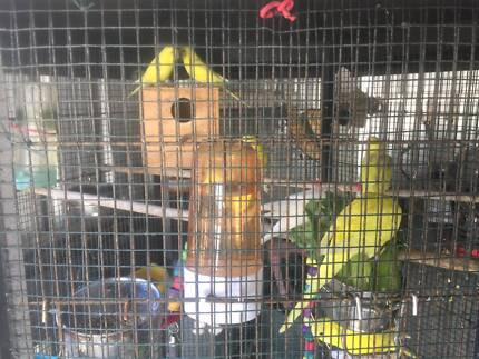 lovely young budgies for sale