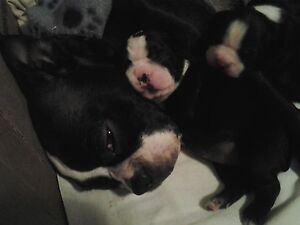 boston terrier pure breed