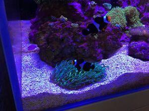 Designer Black Onyx Percula Clown Fish Pair Picasso Lane Cove Lane Cove Area Preview
