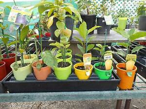 Passionfruit vines, fruit trees West Ballina Ballina Area Preview