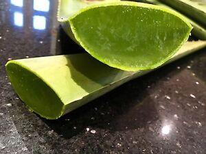 Queen Aloe Vera Leaf Large  55-60 Cm..Barbadensis Miller Medicinal plant.