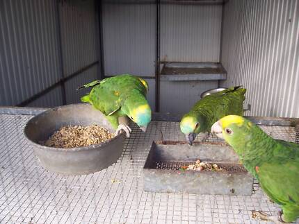 AMAZONS,MACAWS,CONURES ORDERS TAKEN