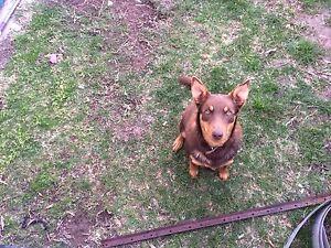 Free dog to a good home Armidale Armidale City Preview