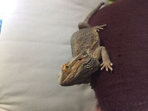 Bearded Dragons | Kijiji in British Columbia  - Buy, Sell