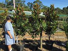 TREES & SCREENING PLANTS - Maples, Magnolia, Viburnum & much more Annangrove The Hills District Preview