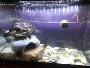 Red slider turtle with tank