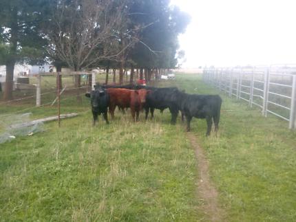 Dexter steer calves for sale
