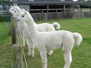 Alpaca Fleece 100% for spinning or felting 1kg white