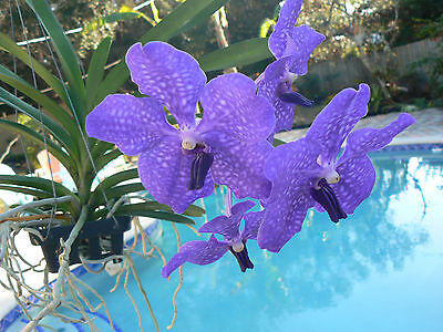 Orchid Vanda Pachara Delight Blue Purple Near Or In Spike Exotic Tropical Plant