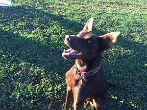 Giveaway Kelpie Pup North Booval Ipswich City Preview
