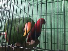 Gorgeous aviary pair of eclectus parrots South Penrith Penrith Area Preview