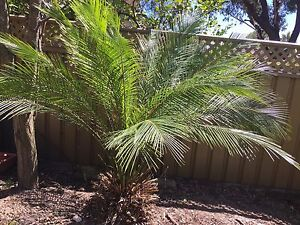 Burrawang palm Engadine Sutherland Area Preview