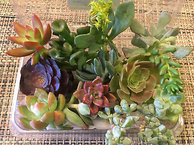 BOX #6: 12 SUCCULENT CUTTINGS - A FEW RARE ONES! GREAT FOR WEDDING PARTY FAVORS!