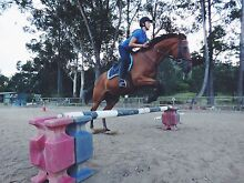 15.3hh thoroughbred show jumper and all rounder Sunrise Beach Noosa Area Preview