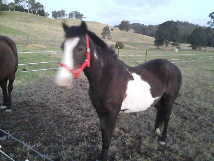 BEAUTIFUL PINTO MARE Firefly Greater Taree Area Preview