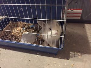 Free White rabbit to good home