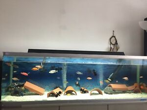 Cichlids Lake Malawi for sale.