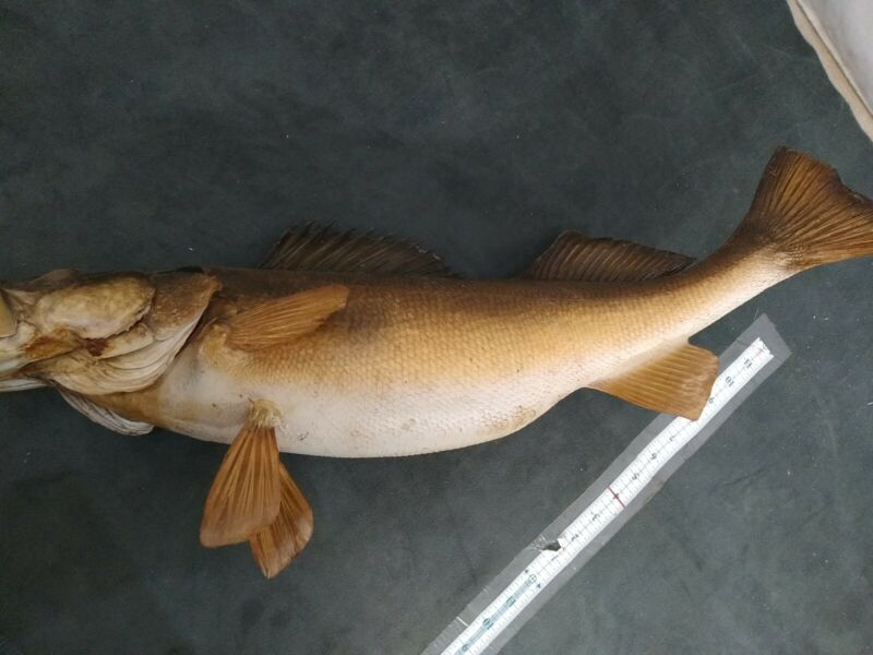 25inch Taxidermy Mounted Walley Fish real dried