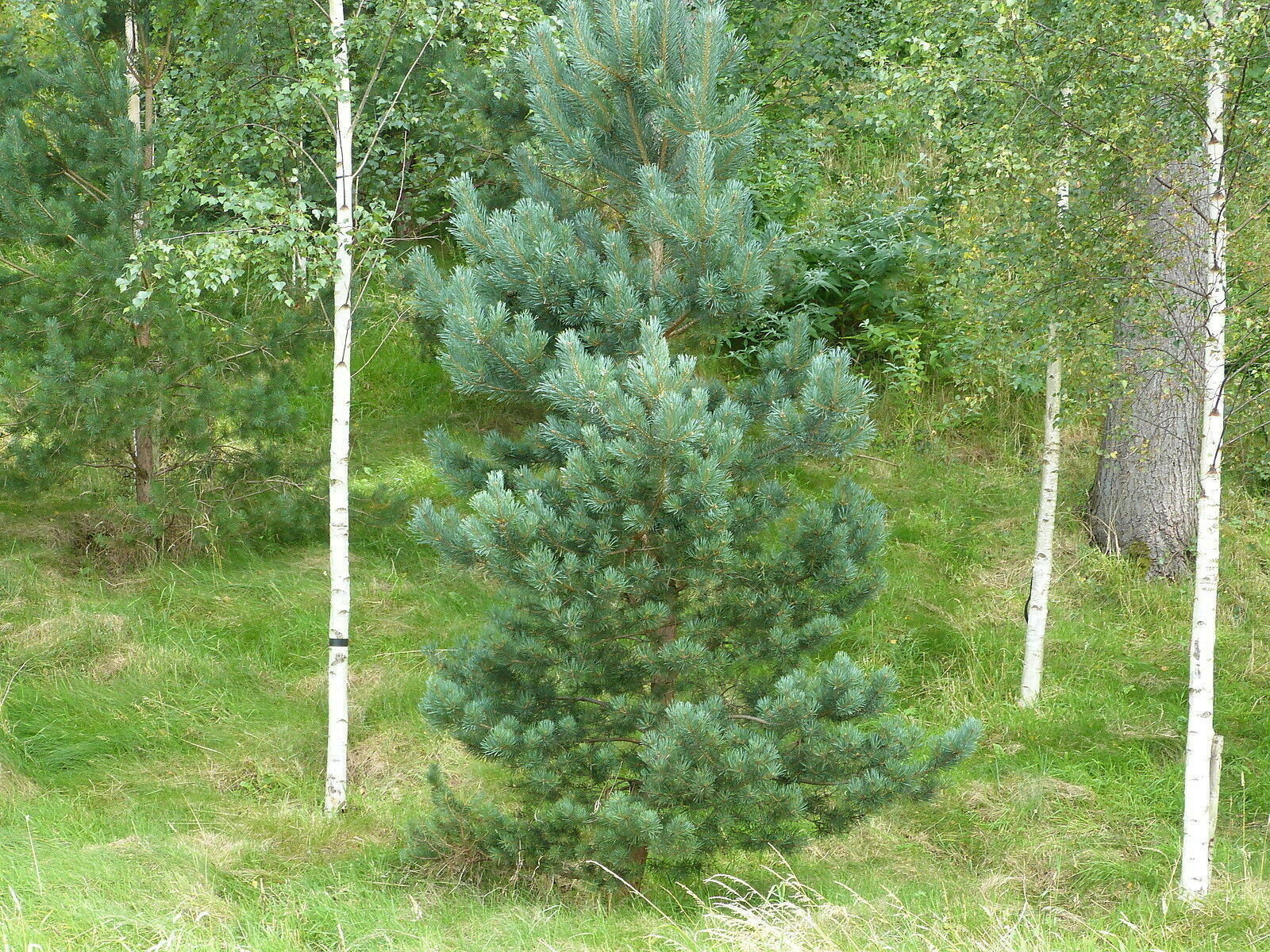 3 Scots Pine Trees 1-2ft Tall,Native Evergreen, Pinus