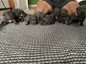 Blue English Staffordshire Puppy's
