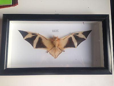 Kerivoula picta Fledermaus bat Glaskasten