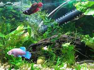 Adult female bettas Morphett Vale Morphett Vale Area Preview