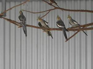 Native Parrots for Sale Freeling Gawler Area Preview