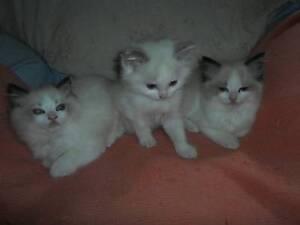 Ragdoll Kittens Woori Yallock Yarra Ranges Preview