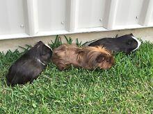Free range Guinea Pigs Wauchope Port Macquarie City Preview