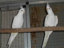 Cockatiel Pairs [whiteface] for sale.. Bonalbo Kyogle Area Preview