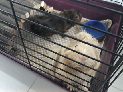 Two female abyssinian guinea pigs + cage + supplies