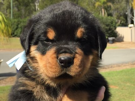 Rottweiler PEDIGREED Puppy Jimboomba Logan Area Preview