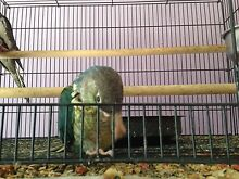 Blue/turquoise green cheek conure hand raised Pooraka Salisbury Area Preview