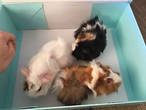 Guinea pigs for Sale PRICE REDUCTION. !!! Mount Pleasant Melville Area Preview