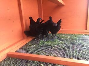 Standard size chickens Now Available!! Rare breeds