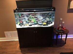90 gallon rounded acrylic tank with cichlids and everything