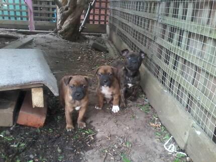 British bulldog x  pups Berwick Casey Area Preview