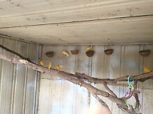 Canary Pairs Kapunda Gawler Area Preview