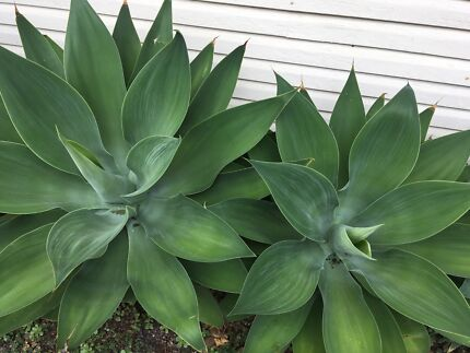 Agave succulents $15 each